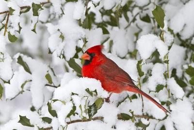 Northern Cardinal in American Holly in Winter, Marion, Illinois, Usa-Richard ans Susan Day-Photographic Print