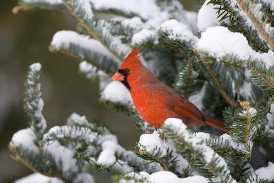 Northern Cardinal in Balsam Fir Tree in Winter, Marion, Illinois, Usa-Richard ans Susan Day-Photographic Print