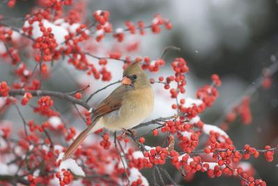 Northern Cardinal in Common Winterberry, Marion, Illinois, Usa-Richard ans Susan Day-Photographic Print