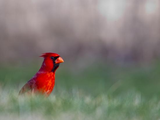 Northern Cardinal in Loup County, Nebraska, USA-Chuck Haney-Photographic Print