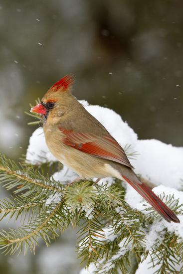 Northern Cardinal in Spruce Tree in Winter, Marion, Illinois, Usa-Richard ans Susan Day-Photographic Print