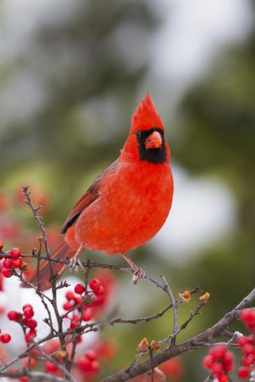 Northern Cardinal Male in Common Winterberry Bush in Winter, Marion County, Illinois-Richard and Susan Day-Photographic Print