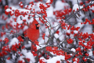Northern Cardinal Male in Common Winterberry in Winter, Marion, Il-Richard and Susan Day-Photographic Print