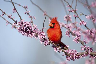 Northern Cardinal Male in Eastern Redbud, Marion, Illinois, Usa-Richard ans Susan Day-Photographic Print