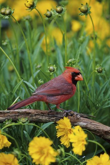 Northern Cardinal Male in Flower Garden Near Lance-Leaved Coreopsis, Marion County, Illinois-Richard and Susan Day-Photographic Print