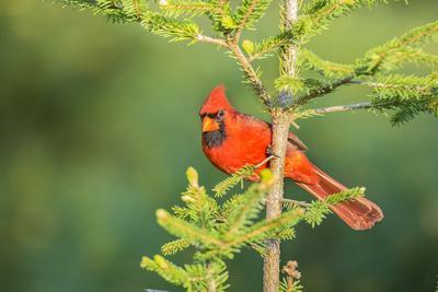 https://imgc.artprintimages.com/img/print/northern-cardinal-male-in-spruce-tree-marion-county-illinois_u-l-q1gcldr0.jpg?p=0