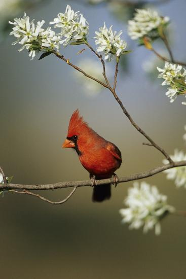 Northern Cardinal Male on Flowering Serviceberry Tree, Marion, Il-Richard and Susan Day-Photographic Print
