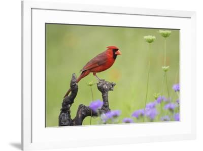 Northern Cardinal male perched on limb-Larry Ditto-Framed Premium Photographic Print