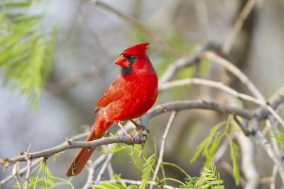 Northern Cardinal Male Starr, Texas, Usa-Richard ans Susan Day-Photographic Print