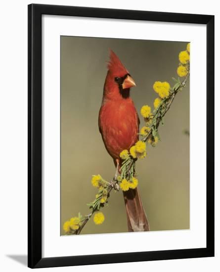 Northern Cardinal on Blooming Huisache, Lake Corpus Christi, Texas, USA-Rolf Nussbaumer-Framed Photographic Print