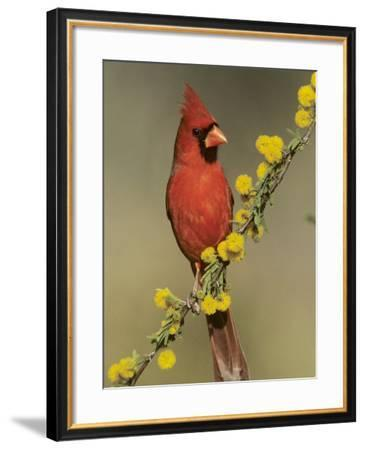 Northern Cardinal on Blooming Huisache, Lake Corpus Christi, Texas, USA-Rolf Nussbaumer-Framed Photographic Print