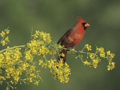Northern Cardinal on Blooming Paloverde, Rio Grande Valley, Texas, USA-Rolf Nussbaumer-Photographic Print