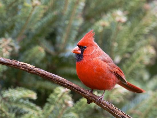 Northern Cardinal Perching on Branch, Mcleansville, North Carolina, USA-Gary Carter-Photographic Print