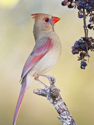 Northern Cardinal, Texas, USA-Larry Ditto-Photographic Print