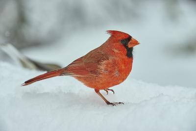 Northern Cardinal-Gary Carter-Photographic Print