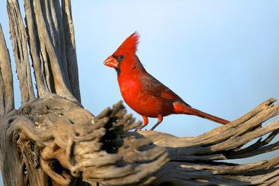 https://imgc.artprintimages.com/img/print/northern-cardinals-cardinalis-cardinalis-in-the-family-cardinalidae_u-l-pyp5n70.jpg?p=0