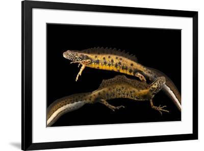 Northern crested newts, Triturus cristatus, at Alpenzoo in Innsbruck, Austria.-Joel Sartore-Framed Photographic Print