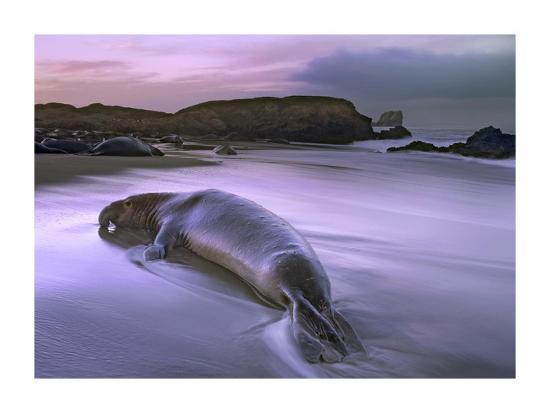 Northern Elephant Seal bull laying at surf's edge, Point Piedras Blancas, California-Tim Fitzharris-Art Print