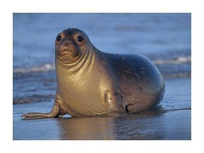 Northern Elephant Seal female laying on beach, California coast-Tim Fitzharris-Art Print