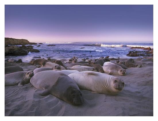 Northern Elephant Seal juveniles laying on the beach, Point Piedras Blancas, Big Sur, California-Tim Fitzharris-Art Print