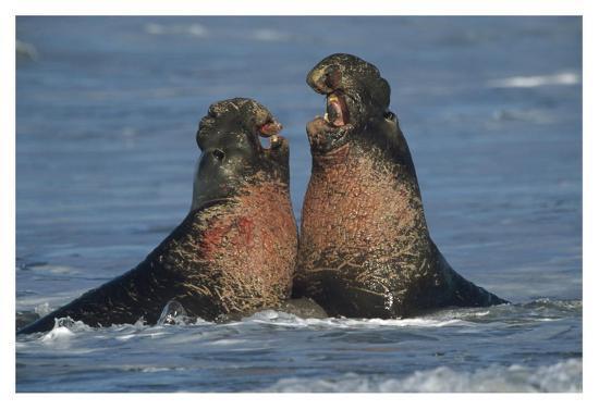 Northern Elephant Seal males fighting, California-Tim Fitzharris-Art Print