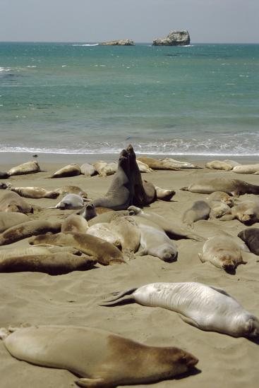 Northern Elephant Seals-Diccon Alexander-Photographic Print