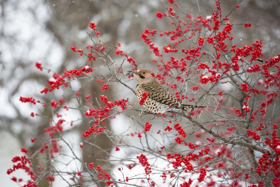 Northern Flicker (Colaptes auratus) male in Winterberry bush in winter, Marion County, Illinois-Richard & Susan Day-Photographic Print