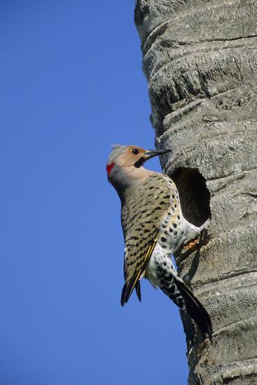 Northern Flicker Male at Nest Cavity, Florida-Richard and Susan Day-Photographic Print