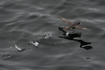 Northern Fulmar (Fulmarus Glacialis) Taking Off from a Calm Sea, Sakhalin Island, Russia, Eurasia-Mick Baines-Photographic Print