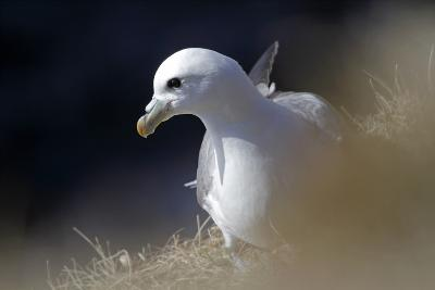 Northern Fulmar Perched-William Gray-Photographic Print