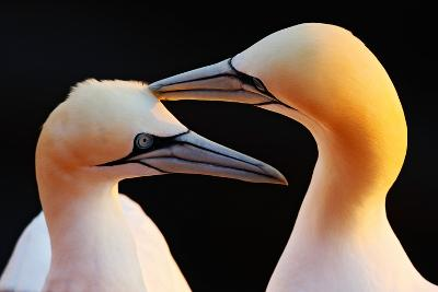 Northern Gannet, Detail Head Portrait with Evening Sun and Dark Orange Sea in the Background, Beaut-Ondrej Prosicky-Photographic Print