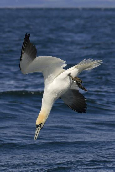 Northern Gannet Diving for Fish--Photographic Print