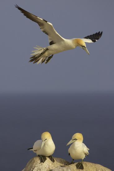 Northern Gannet (Morus Bassanus) Flying over Two on Rock, Saltee Islands, Ireland, June 2009- Green-Photographic Print