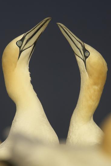 Northern Gannets (Morus Bassanus) Displaying, Saltee Islands, Ireland, May 2008- Green-Photographic Print