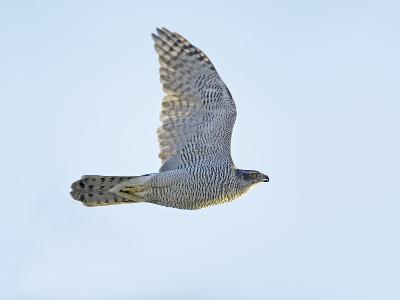 Northern Goshawk (Accipiter Gentilis) Flying, Helsinki Finland, December-Markus Varesvuo-Photographic Print