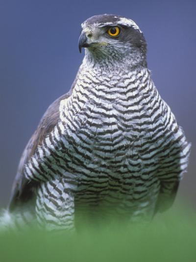 Northern Goshawk, Male Close-Up, Scotland-Pete Cairns-Photographic Print