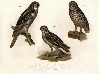 Northern Hawk Owl, 1864--Giclee Print