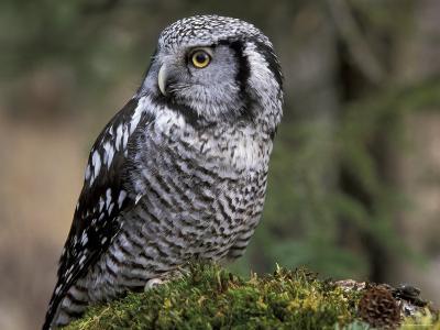 Northern Hawk Owl, Alaska, Us-Lynn M^ Stone-Photographic Print