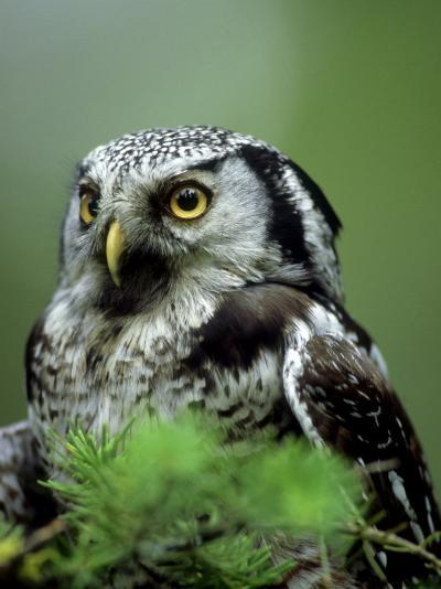 Northern Hawk Owl, Portrait, Montana, USA-Frank Schneidermeyer-Photographic Print