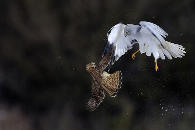 Northern - Hen Harrier (Circus Cyaneus) And Kestrel (Falco Tinnunculus) Below, Fighting In Flight-Fabrice Cahez-Photographic Print