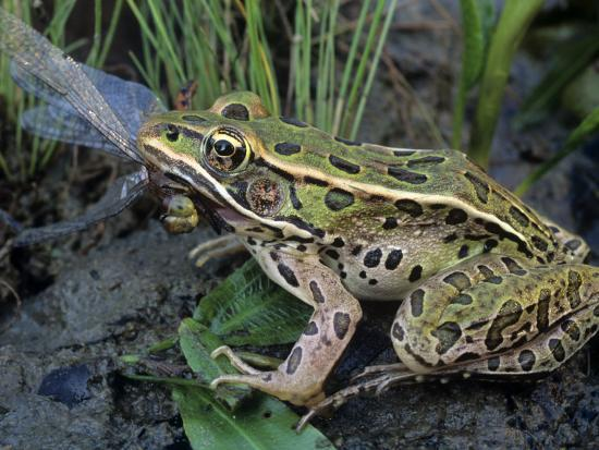 Northern Leopard Frog (Rana Pipiens) Eating a Dragonfly-Gary Meszaros-Photographic Print
