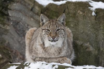 Northern Lynx (Lynx Lynx Lynx), Captive, Highland Wildlife Park, Kingussie, Scotland, U.K.-Ann & Steve Toon-Photographic Print