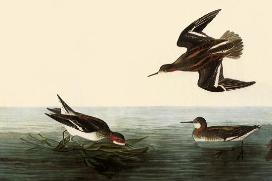 Northern Phalaropes-John James Audubon-Giclee Print