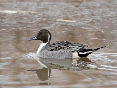 Northern Pintail (Anas Acuta), Bosque Del Apache National Wildlife Refuge, New Mexico, USA-James Hager-Photographic Print