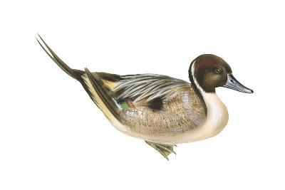 Northern Pintail (Anas Acuta), Duck, Birds-Encyclopaedia Britannica-Art Print