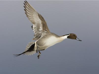 Northern Pintail, Anas Acuta, Male in Flight, North America-John Cornell-Photographic Print