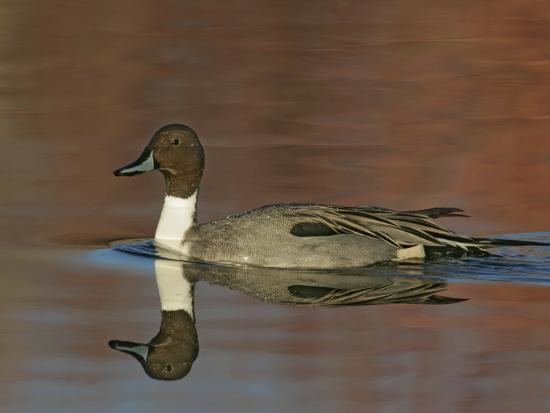 Northern Pintail Drake Swimming, Anas Acuta, North America-Arthur Morris-Photographic Print