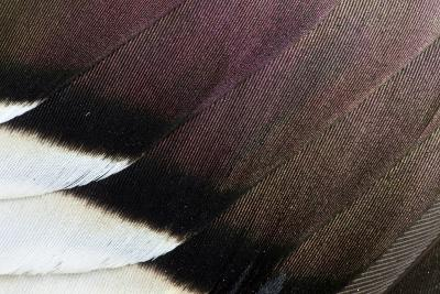 Northern Pintail Drake Wings Fanned Out-Darrell Gulin-Photographic Print