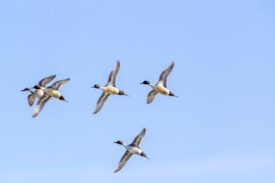 Northern Pintail Ducks in Courtship Flight, Montana, USA-Chuck Haney-Photographic Print