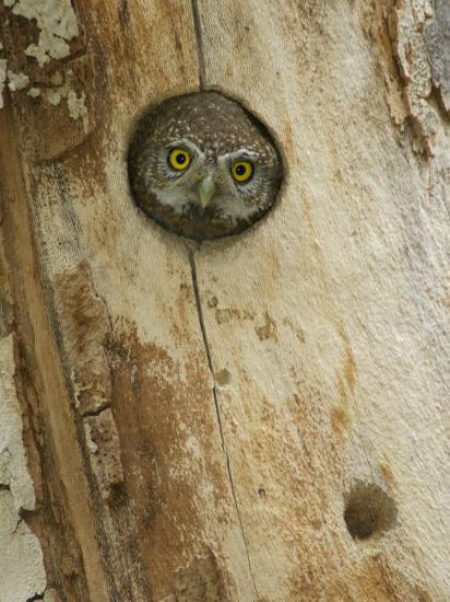 Northern Pygmy Owl, Adult Looking out of Nest Hole in Sycamore Tree, Arizona, USA-Rolf Nussbaumer-Photographic Print